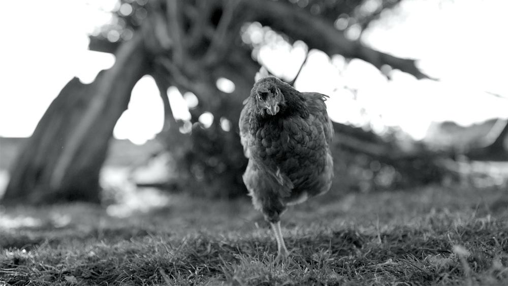 """""""Gunda"""" (© Filmwelt Verleihagentur / Sant & Usant/V. Kossakovsky/Egil H. Larsen)"""
